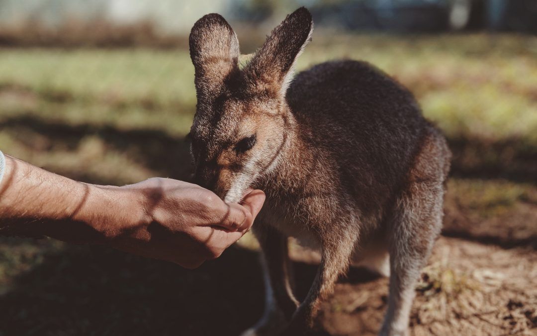 Let Us Look At Some Famous Animals Of Australia