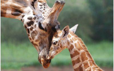 A Closer Examination Of Endangered Species Giraffe