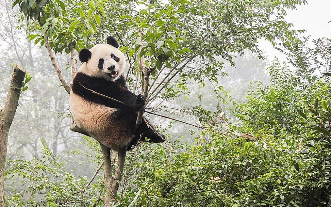 9 The Giant Panda Facts Everyone Should Know