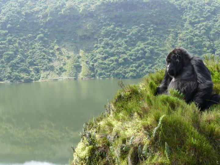 Are Mountain Gorillas Endangered