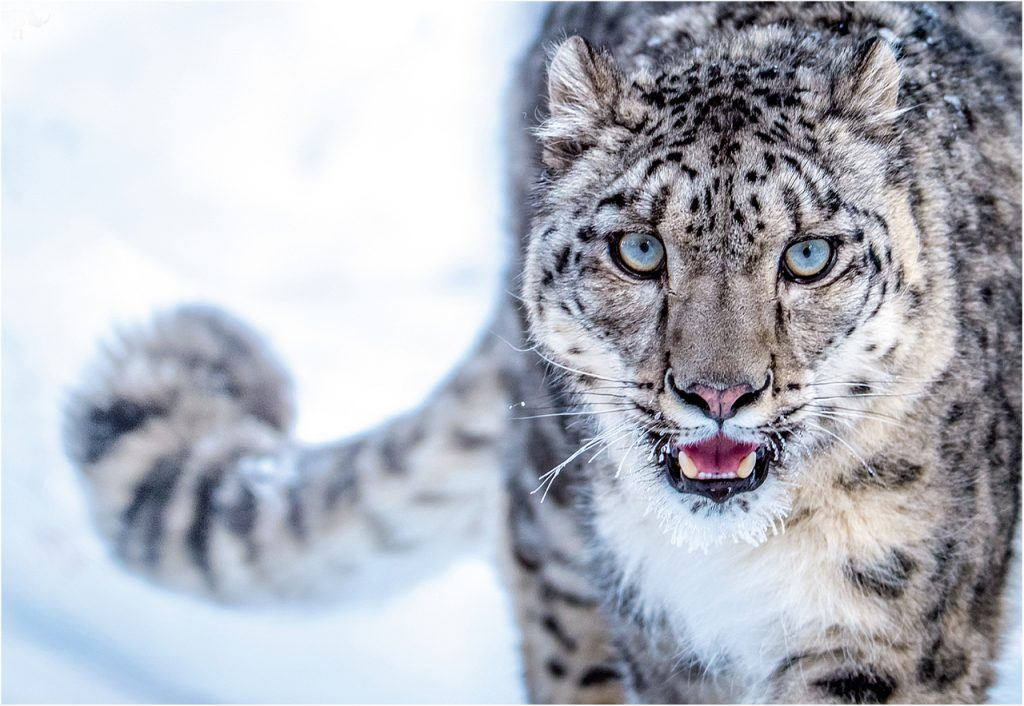 Snow leopard cool facts