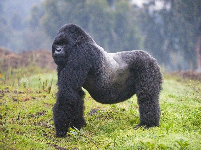 Are Mountain Gorillas Endangered?