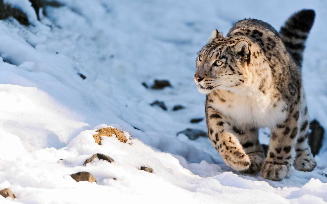7 Amazing Snow Leopard Cool Facts